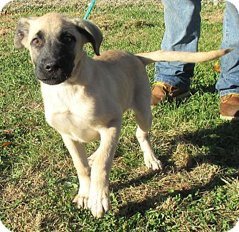 Anatolian Shepherd Mix Puppy for adoption in Reeds Spring, Missouri - Button