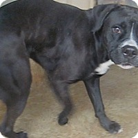 Labrador Retriever/American Staffordshire Terrier Mix Dog for adoption in Tahlequah, Oklahoma - Samuel