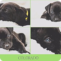 Adopt A Pet :: Colorado - Raleigh, NC