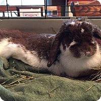 Adopt A Pet :: Sybil - Woburn, MA