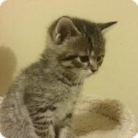 Adopt A Pet :: Lb Litter - Sumomo - APPLICATIONS CLOSED - Livonia, MI