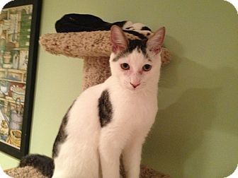 Domestic Shorthair Cat for adoption in East Hanover, New Jersey - Gus - Lap Kitty
