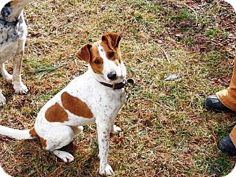 Jack Russell Terrier/Beagle Mix Dog for adoption in Floyd, Virginia - Rascal