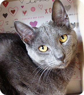 Domestic Shorthair Cat for adoption in Albany, New York - Leo