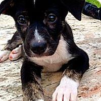 Adopt A Pet :: Chip - Miami, FL