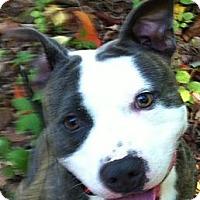 Adopt A Pet :: Vino CP - Dayton, OH