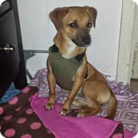 Adopt A Pet :: Honey - West Hartford, CT