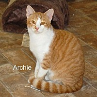 American Shorthair Cat for adoption in Jackson, Mississippi - Archie
