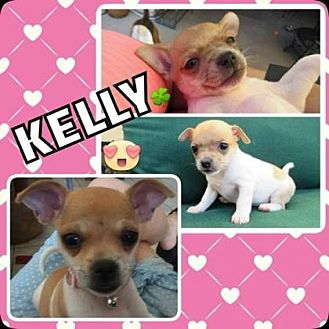 Chihuahua Mix Puppy for adoption in Scottsdale, Arizona - Kelly