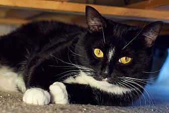 Domestic Shorthair Cat for adoption in Columbus, Ohio - Kiki