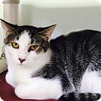 Domestic Shorthair Cat for adoption in Manteo, North Carolina - David