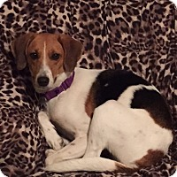 Foxhound Mix Dog for adoption in Willingboro, New Jersey - Jenny