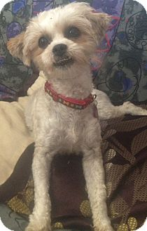 Shih Tzu/Terrier (Unknown Type, Small) Mix Dog for adoption in Oceanside, California - Miley