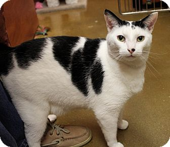 Domestic Shorthair Cat for adoption in Smyrna, Georgia - Jack