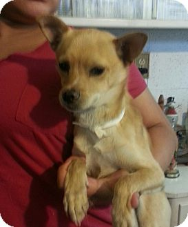 Chihuahua Mix Puppy for adoption in San Diego, California - Donny URGENT
