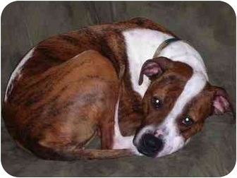 Pit Bull Terrier Dog for adoption in Jackson, Michigan - Charlie