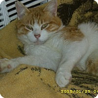 Domestic Mediumhair Cat for adoption in Brea, California - PUMPKIN