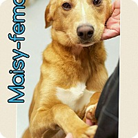 Adopt A Pet :: Maisy (REDUCED FEE!) - Brattleboro, VT