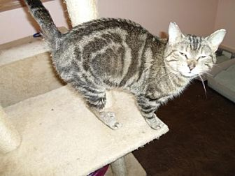 Domestic Shorthair Cat for adoption in Montello, Wisconsin - **Brooke