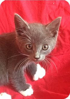 Domestic Shorthair Kitten for adoption in Santa Monica, California - JERRY