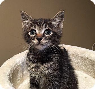 Domestic Shorthair Kitten for adoption in Wayne, New Jersey - Cambino