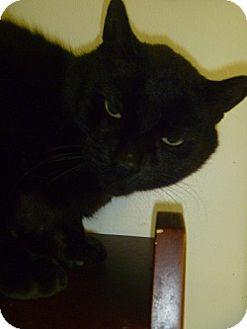 Domestic Shorthair Cat for adoption in Hamburg, New York - Blotter