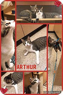 Domestic Shorthair Cat for adoption in Arlington/Ft Worth, Texas - Arthur