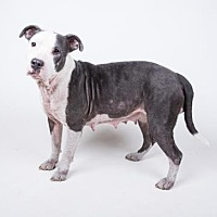 Adopt A Pet :: Rockey - Decatur, GA