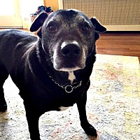 Labrador Retriever Dog for adoption in Spring Lake, New Jersey - Lenny