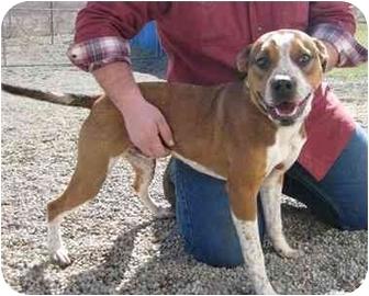 Boxer Mix Dog for adoption in Florence, Indiana - Gabe