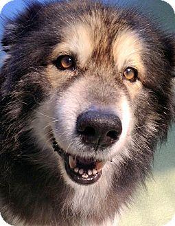 Alaskan Malamute/Husky Mix Dog for adoption in Los Angeles, California - Bear *VIDEO*