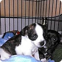 Adopt A Pet :: Snoopy - Morgan Hill, CA