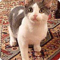 Adopt A Pet :: Bubblegum - Bedford, MA