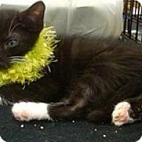 Adopt A Pet :: Rigatoni - Sterling Hgts, MI