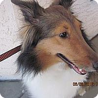 Adopt A Pet :: Layah - apache junction, AZ