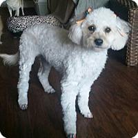 Adopt A Pet :: Angeli - Tucson, AZ