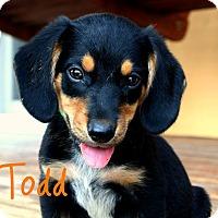 Adopt A Pet :: Todd - Brazil, IN
