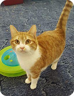 Domestic Mediumhair Cat for adoption in Salisbury, North Carolina - Kayla