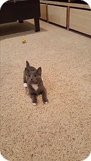 Domestic Shorthair Kitten for adoption in Covington, Kentucky - Raspberry Beret