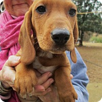 Adopt A Pet :: CLAUDE - Lincolndale, NY