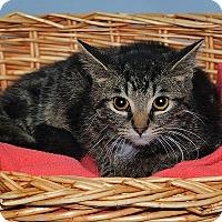 Adopt A Pet :: Darius - Gatineau, QC