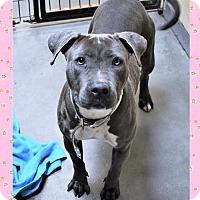 Adopt A Pet :: Pitbull fem - San Jacinto, CA
