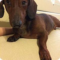 Adopt A Pet :: Zeus - Pearland, TX