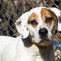 Adopt A Pet :: SImon - South Bend, IN
