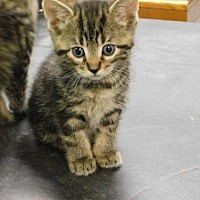 Adopt A Pet :: Kittens - Sparta, WI