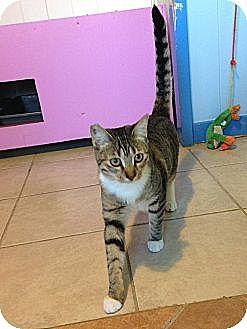 Domestic Shorthair Cat for adoption in Makawao, Hawaii - Sophia