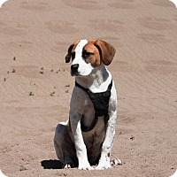 Adopt A Pet :: Winston- Located in Co Springs - Greeley, CO