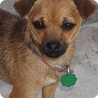 Adopt A Pet :: Smidgen - La Habra Heights, CA