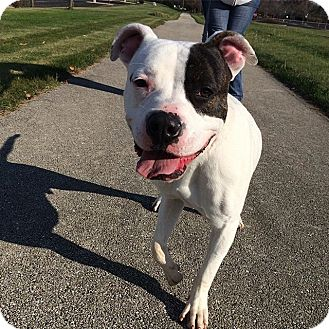 American Pit Bull Terrier Dog for adoption in Vernon Hills, Illinois - Richie