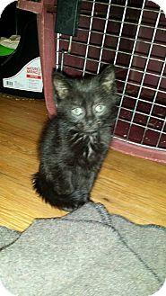 Domestic Mediumhair Kitten for adoption in Levelland, Texas - Diva